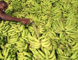 somalia banana