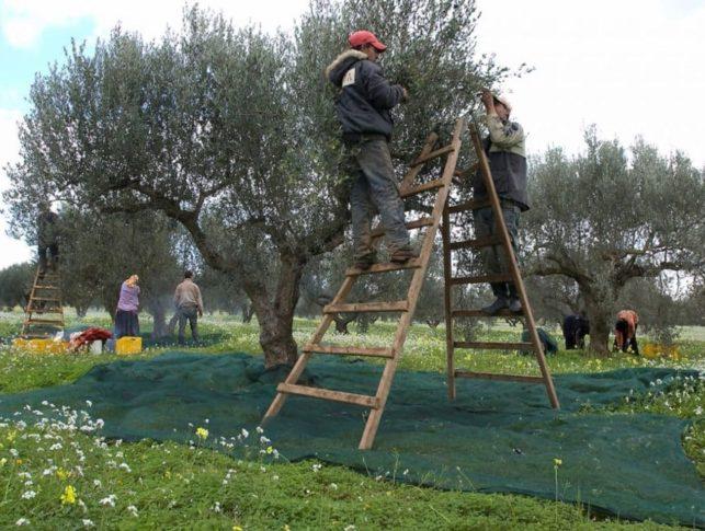 tunisia olive oil