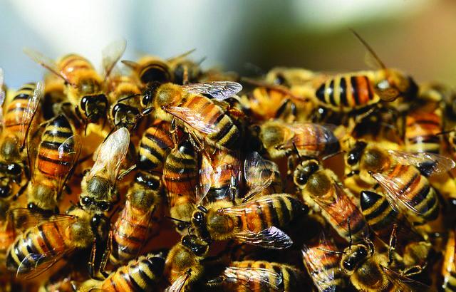 zimbabwe bees